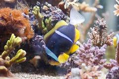 Clarkii d'Amphiprion - Clarkii Clownfish photo libre de droits