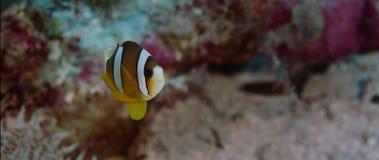 Clarkii die van Clark's anemonefish Amphiprion uit zijn gastheeranemoon gluren, sluit omhoog stock videobeelden