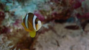 Clarkii die van Clark's anemonefish Amphiprion uit zijn gastheeranemoon gluren, sluit omhoog stock video