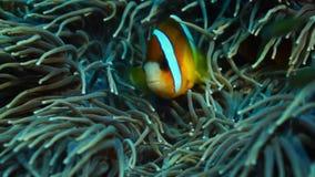 Clarkii die van Clark's anemonefish Amphiprion uit zijn gastheeranemoon gluren, sluit omhoog stock footage