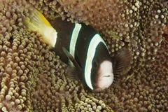 Clarkii do Amphiprion - peixe do palhaço Imagens de Stock