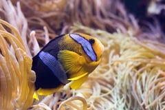 clarkiiclownfish arkivfoto