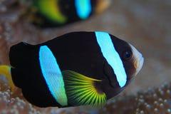 Clarks clownfish Στοκ Φωτογραφία