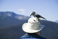 Clarks Nutcracker feeding off a mans hat Stock Photography