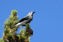 Clarks Nutcracker (Nucifraga columbiana) Royalty Free Stock Photos
