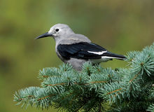 Clarks Nutcracker - Nucifraga columbiana Stock Images