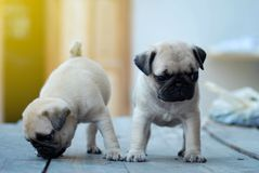 Claro bonito gêmeo - cachorrinhos marrons do Pug que estão na tabela de madeira foto de stock royalty free