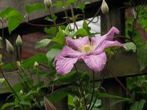 Claro - Clementis Flower roxo na treliça fotos de stock royalty free