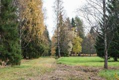 Claro con los abedules con las hojas y la hierba caidas el amarillear Foto de archivo