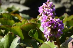 Claro - cordifolia cor-de-rosa do Bergenia com as grandes folhas verdes imagens de stock royalty free