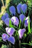 Claro de azafranes florecientes imagen de archivo libre de regalías