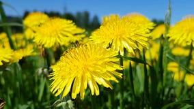 Claro de dientes de león hermosos amarillos en el parque de la ciudad Un insecto vuela en el marco La brisa cruje los pétalos El  almacen de video