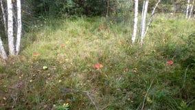 Claro de la seta del agárico de mosca en el bosque del abedul de Smolensk Foto de archivo