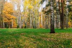 Claro del abedul del bosque en último otoño Fondo del otoño Imagenes de archivo