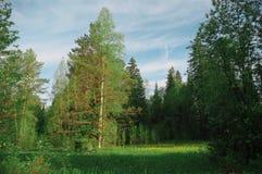 Claro del abedul del pino en la estación de la mañana del bosque Imagenes de archivo