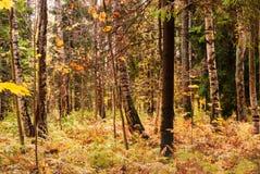 Claro del abedul en último otoño Fondo natural Fotografía de archivo libre de regalías
