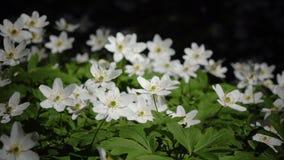 Claro del bosque con los snowdrops blancos en la primavera temprana almacen de metraje de vídeo