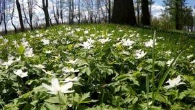 Claro del bosque con los snowdrops blancos en la primavera temprana metrajes