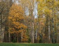 Claro en el parque del otoño con los abedules Imagen de archivo