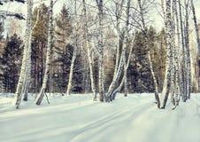 Claro hermoso en un bosque del abedul del invierno Fotografía de archivo