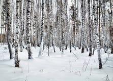 Claro hermoso en una madera de abedul del invierno Fotos de archivo libres de regalías