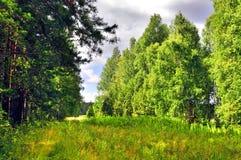 Claro soleado del bosque entre los árboles Fotografía de archivo