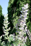 Clary sage floral spike with petals in light lavender and white Stock Photo