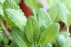 Clary Sage. Fresh green leaves of Clary Sage stock photo
