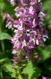 Clary sage plant (Salvia sclarea) Royalty Free Stock Photos