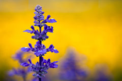 Clary Sage (Salvia sclarea) Stock Images