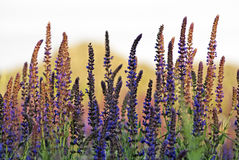 Clary Sage (Salvia sclarea) Royalty Free Stock Image