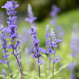 Clary Sage. (Salvia sclarea) for background use stock photography