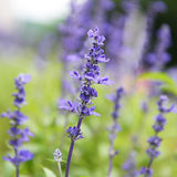 Clary Sage. (Salvia sclarea) for background use stock image