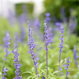 Clary Sage Stock Image