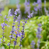 Clary Sage. (Salvia sclarea) for background use royalty free stock photo
