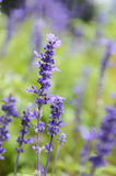 Clary Sage. (Salvia sclarea) for background use stock photo
