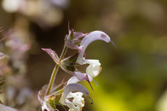 Clary sage, Salvia sclarea. Flowers of a clary sage, Salvia sclarea stock photography