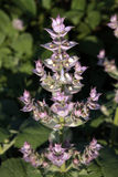 Clary sage (Salvia sclarea). Flowers of Clary sage (Salvia sclarea) on plant stock photography