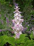 Clary sage Salvia sclarea flowers Royalty Free Stock Photo