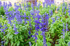 Clary Sage (Salvia Sclarea) For Background Use Stock Photography