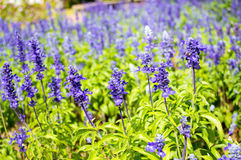 Clary Sage (Salvia sclarea) on the garden background Royalty Free Stock Images