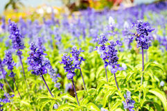 Clary Sage (Salvia sclarea) in the garden Stock Image