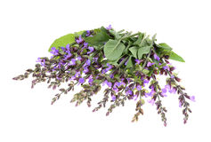 Clary Sage (Salvia sclarea). Isolated on white background Royalty Free Stock Image