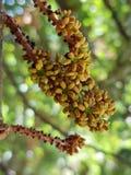 Clase de flores del siliqua del Ceratonia foto de archivo