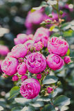 Clase Pomponella de las rosas Imagenes de archivo