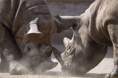 Clash of black rhinoceroses Royalty Free Stock Photography