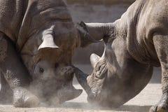 Clash of black rhinoceroses Royalty Free Stock Photography