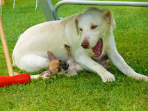 Clash of the dogs Chihuahuas and Golden Retriever Royalty Free Stock Photography