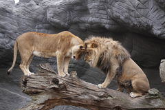 Clash of lions Stock Photos