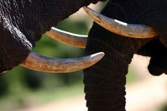 Clash Of Tusks Stock Photos